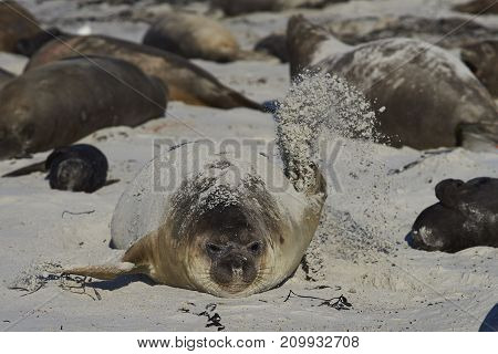 Female Southern Elephant Seal (Mirounga leonina) using a flipper to cover herself with sand whilst lying on a beach on Sea Lion Island in the Falkland Islands.