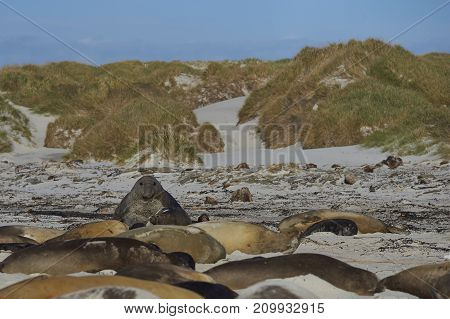 Male Southern Elephant Seal (Mirounga leonina) creeping up on a large harem of females hoping not to be seen by the Beach Master. Sea Lion Island in the Falkland