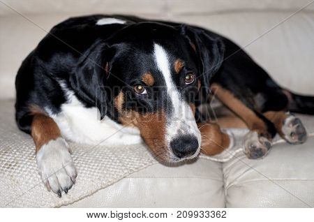 Appenzell cattle dog lying on the couch and looking at the camera