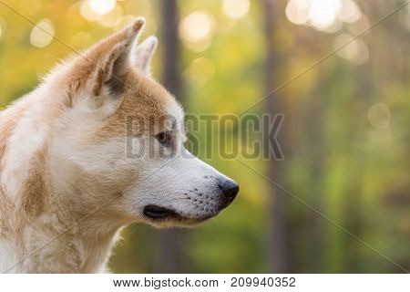 Akita Inu Japanese dog pedigree portrait in the forest.