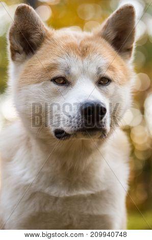Portrait of Akita Inu Japanese pedigree dog.