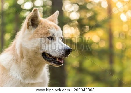 Portrait of pedigree Akita-inu japanese dog .