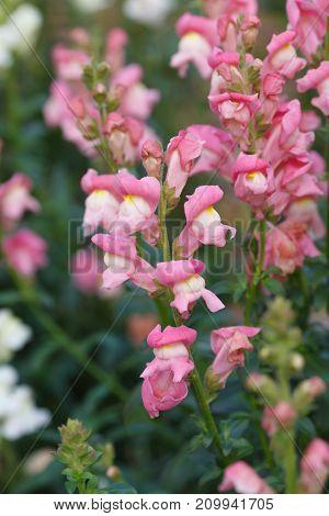 Pink Antirrhinum majus snapdragon flowers growing in the garden