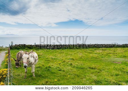 Coastal County Kerry two donkeys together along Wild Atlantic Way scenic tourist drive rock wall fences across green fields