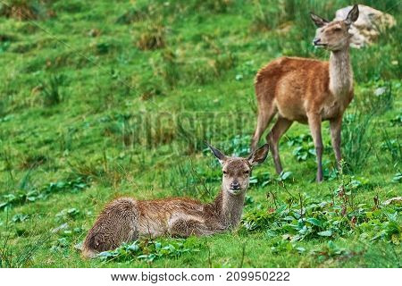 Deers On The Slope Of A Hill