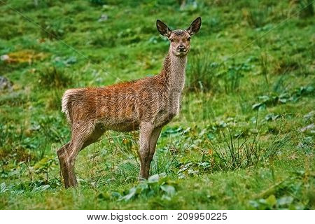 Deer On The Slope Of A Hill