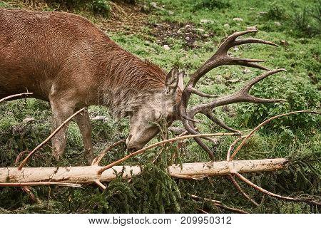 Deer Scratching Horns