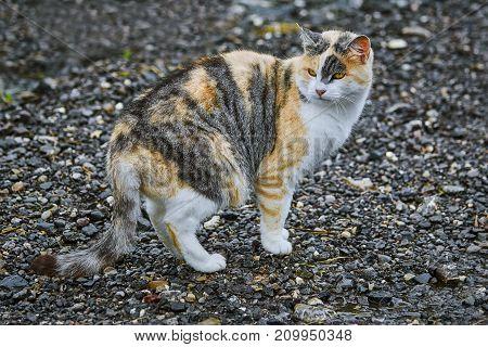 Domestic Cat On Road