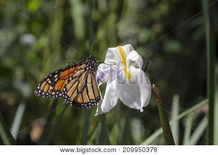 A monarch butterfly (Danaus plexippus) rests on a white wild iris on a sunny day in a California garden.