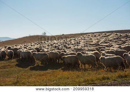 Herd Of Sheep Grazing In The Meadow