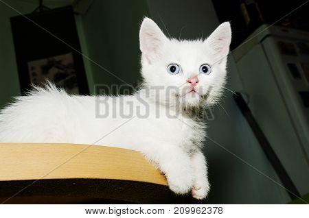 Kitten Table Cuteness Snow White Curious Little