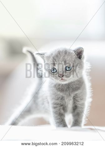Lovely furry grey cat portrayed in a standing ready-to-play position. British shorthair.