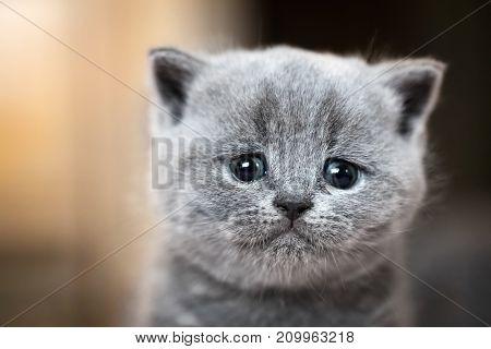 Cute kitten portrait. British Shorthair cat. Sad, crying expression