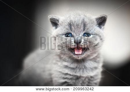 Cute kitten meows to the camera. British Shorthair cat