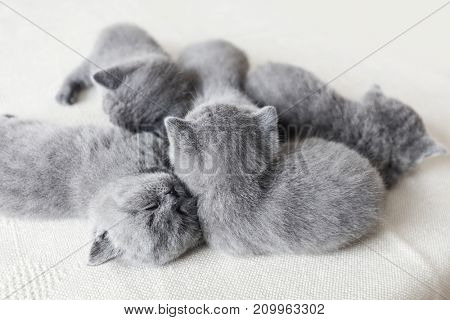 Group of cuddling little furry pussycats. One in the centre reversed. British shorthair.