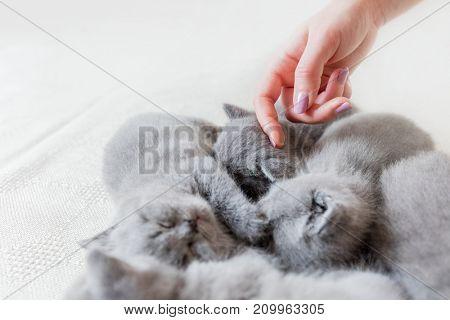 Woman's hand touching one of cute grey sleeping cats. British shorthair.