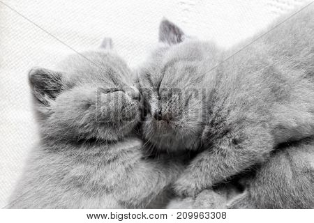 Two fluffy sleeping cats snuggling each other. British shorthair kittens.