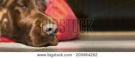 Nose of a cute lazy Irish Setter dog