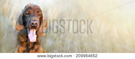 Nose of a funny Irish Setter dog - web banner with copy space