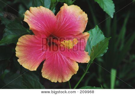 Bicolor Hibiscus