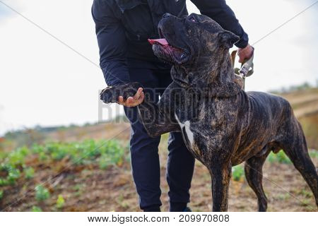 A big dark pitbull walking with owner outdoors. Cute dog standing near the man on the nature background. Close-up of dog. Animal concept.