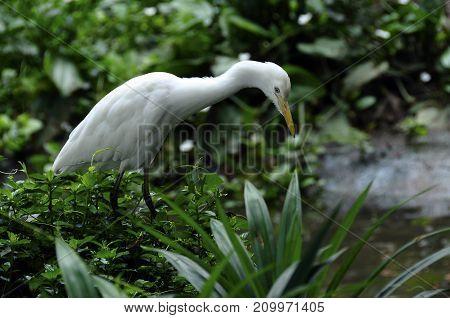 White Egret Bird