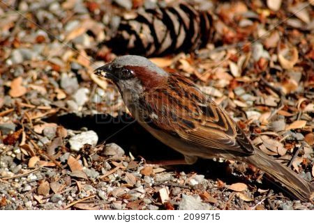 Small House Sparrow Biting On A Seed