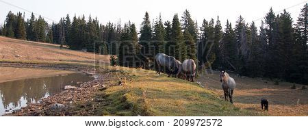 Small herds of wild hiorses at the grassy edge of a waterhole in the Pryor Mountains Wild Horse Range in Montana United States