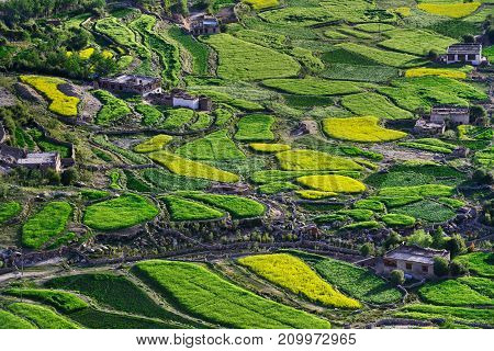 Fields on the bottom of the high mountains of the Himalayas: green oval patches of barley and yellow areas of mustard alternate with each other on the edge of the field there is a clay house India.