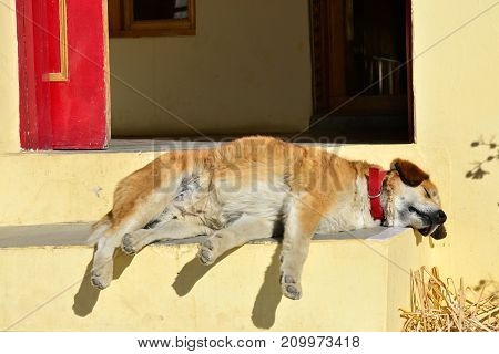 Red haired dog in a red collar sleeping quietly on the porch of a yellow house.