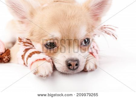 cute chihuahua puppy  with striped woolen leggings close-up lying down on white background