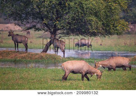 Nilgai Antelopes (boselaphus Tragocamelus) In Keoladeo Ghana National Park, Bharatpur, India