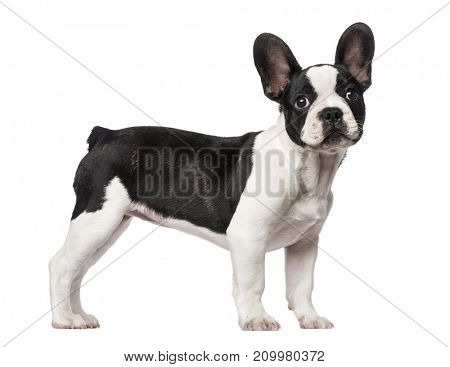 Dog, French Bulldog puppy, 3 months old, isolated on white