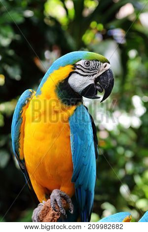 Blue and Yellow macaw a beautiful parrot standing on a tree branch
