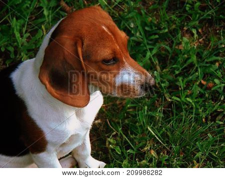 A beagle puppy sitting in the grass looking off to the side