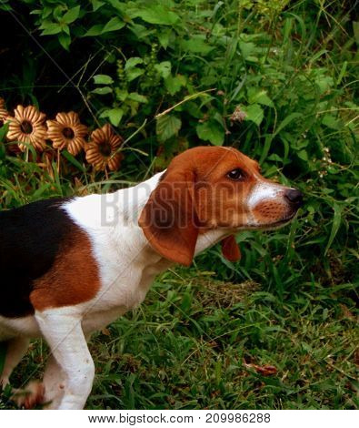 A beagle puppy pointing outside surrounded by grass