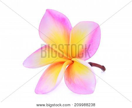 single pink frangipani (plumeria) tropical flower with water drop isolated on white background