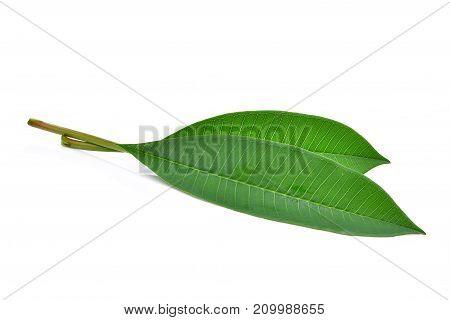 green frangipani leaf isolated on white background