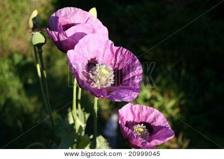 Annual Poppy
