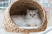 A chinchilla persian cat relaxing in a cat bed poster