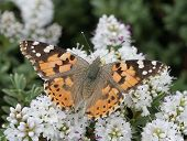 Painted lady butterfly (Vanessa cardui) feeding from a garden plant. poster