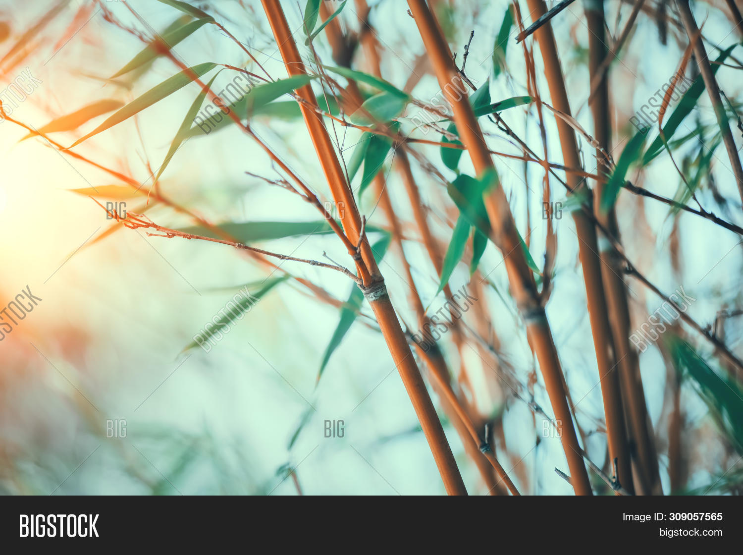 Bamboo. Bamboos Forest Image & Photo (Free Trial) | Bigstock