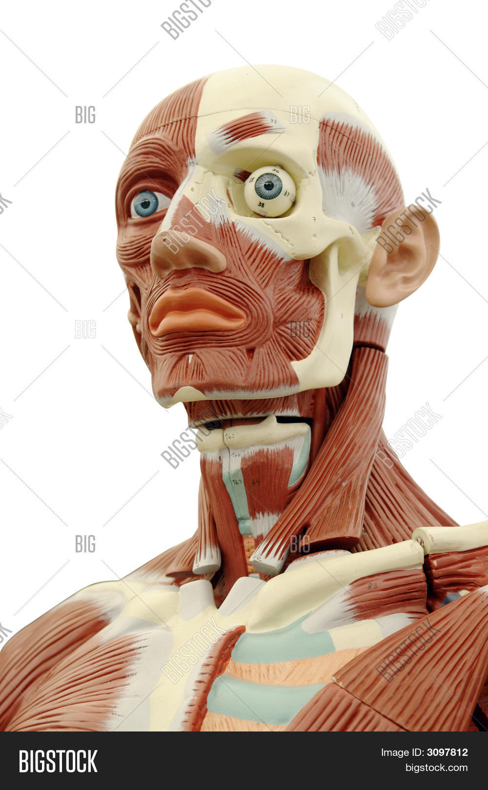 Human Anatomy Image & Photo (Free Trial) | Bigstock