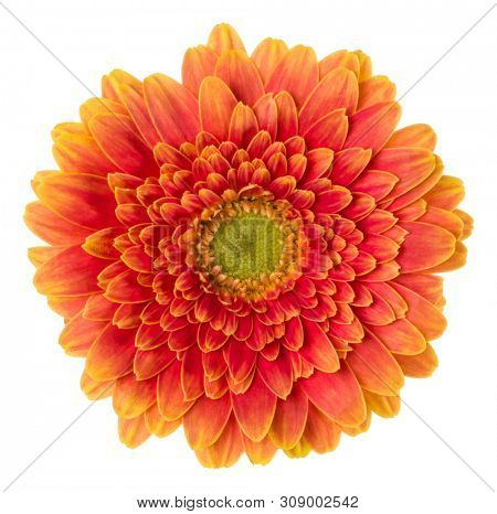 orange gerbera flower head isolated on white background closeup. Gerbera in air, without shadow. Top view, flat lay.