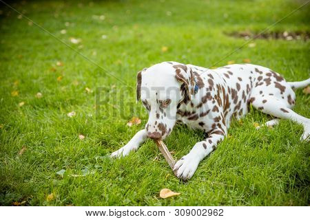 Adorable Dalmatian Dog Outdoors In Summer.dalmatian Dog On The Grass On A Sunny Autumn Day.adorable