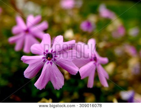 Moss Phlox Flowers In Pink. Five Petals With Darker Markings Around The Center Circle. Latin Name :