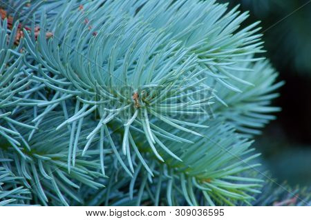 Branches Of Evergreen Tree On Dark Background