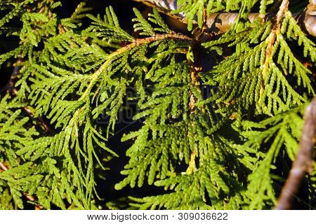 Green Branches Of Evergreen Tree In Sunlit
