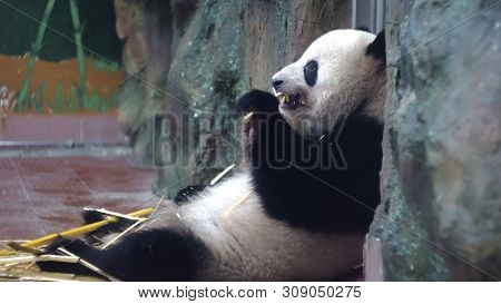 Panda Eats Bamboo Stalks At Zoo. Media. Chubby Panda Sits Lazily And With Pleasure Eat Bamboo Stems