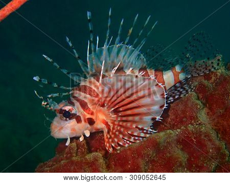 Closeup And Macro Shot Of The Lionfish And Also Called Zebrafish, Firefish, Turkeyfish, Tastyfish Or